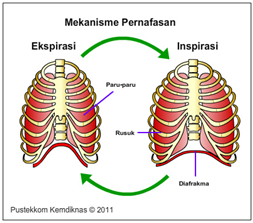 Mekanisme Pernapasan Pada Manusia Rizki2812